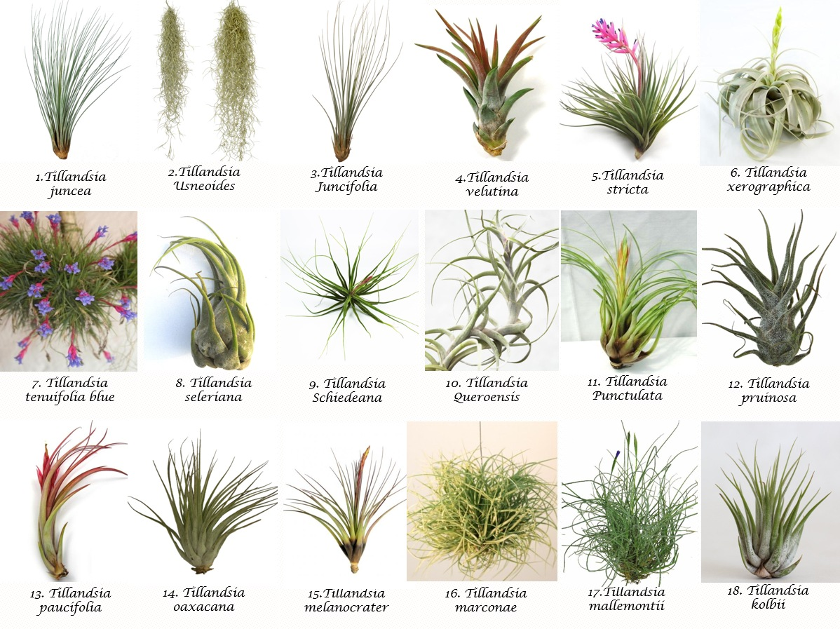 Air Plant Catalogue Patioscapes