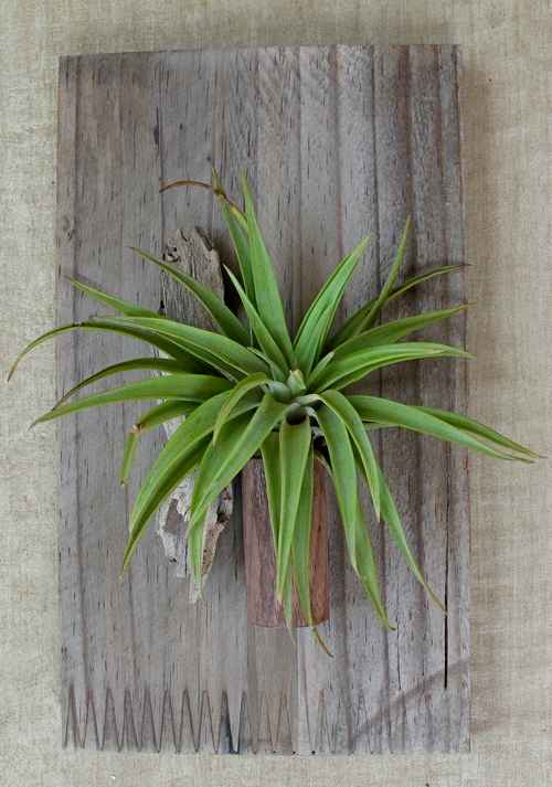 Air-plant-single-walnut-holder-reclaimed-wood-with-air-plant