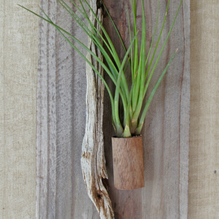 Air-plant-single-walnut-holder-reclaimed-wood-with-air plant